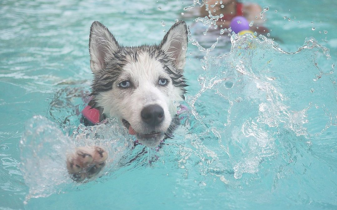 Swimming Tips for Dogs Pool Edition