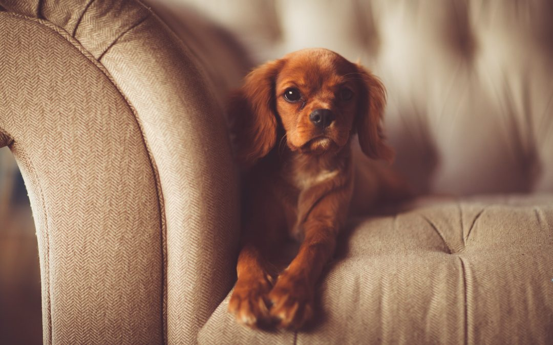 Top 5 Dog Breeds for Small Homes